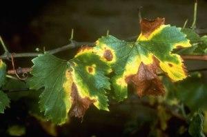 L'effet de cette bactérie sur la vigne