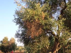 L'effet de la bactérie tueuse sur l'olivier