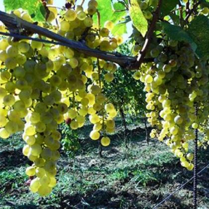 Nouvelle appellation d'origine protégée pour un vin deHongrie